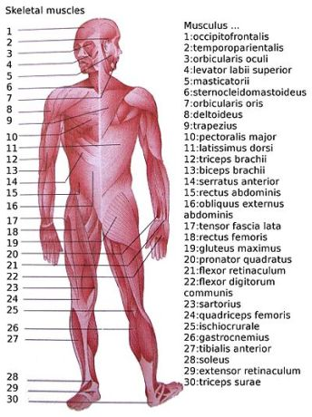 400px-Skeletal_muscles_homo_sapiens